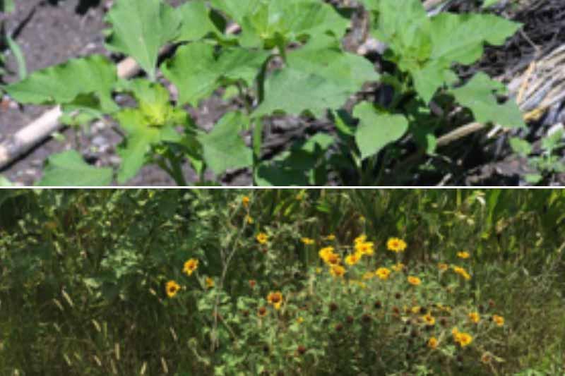 Tithonia Tubaeformis